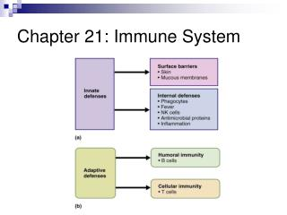 Chapter 21: Immune System