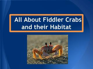 All About Fiddler Crabs and their Habitat