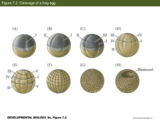 Figure 7.2  Cleavage of a frog egg