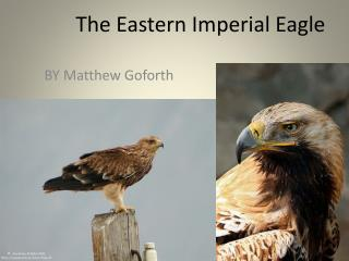 The Eastern Imperial Eagle