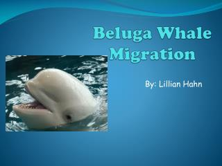 Beluga Whale Migration