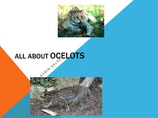 All About  Ocelots