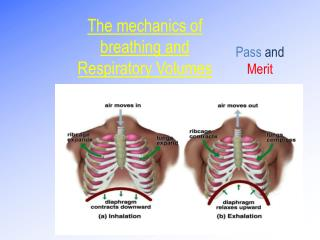 The mechanics of  breathing and Respiratory Volumes