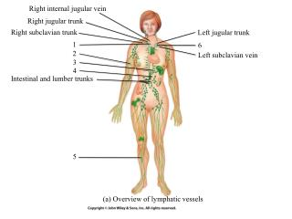 (a) Overview of lymphatic vessels