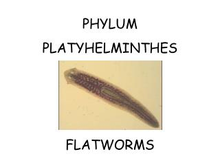 PHYLUM  PLATYHELMINTHES FLATWORMS