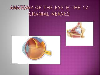 Anatomy of the Eye & the 12 cranial nerves