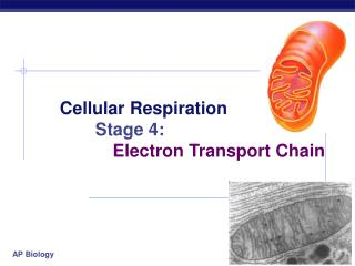 Cellular Respiration Stage 4: 		Electron Transport Chain