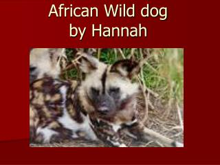 African Wild dog by Hannah