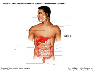 Figure 14.1The human digestive system: Alimentary canal and accessory organs.