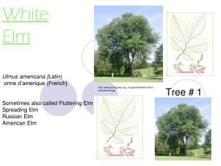 White Elm