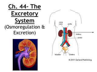 Ch. 44- The Excretory System  (Osmoregulation & Excretion)