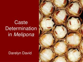 Caste Determination in Melipona