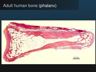 Adult human bone (phalanx)