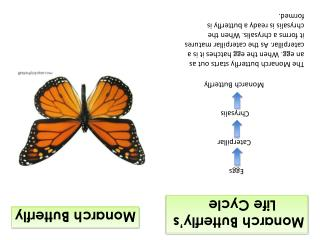 Monarch Butterfly's        Life Cycle