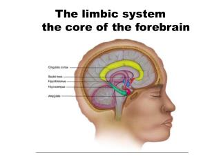 The limbic system    the core of the forebrain