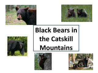 Black Bears in the Catskill  Mountains