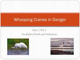 Whooping Cranes in Danger