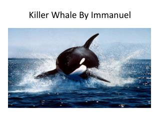 Killer Whale By Immanuel
