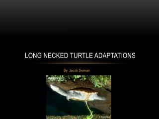 Long  N ecked  T urtle Adaptations