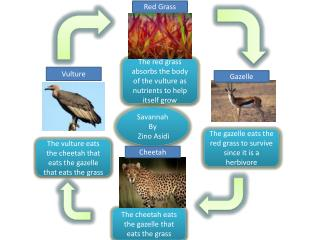The vulture eats the cheetah that eats the gazelle that eats the grass