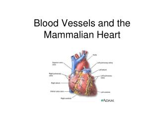 Blood Vessels and the Mammalian Heart