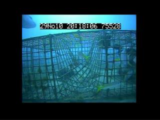 Engineering Bycatch Reduction in West Indian Fish Traps: STFA CRP Trap Vent Study