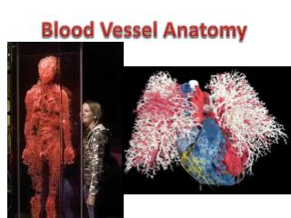Blood Vessel Anatomy