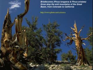 Bristlecones (Pinus longaeva & Pinus aristata)  Grow atop the arid mountains of the Great Basin, from Colorado to Califo