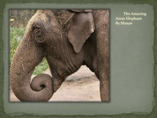 The Amazing Asian Elephant      By:Manav