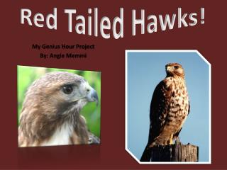 Red Tailed Hawks!