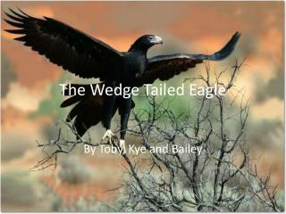The Wedge Tailed Eagle