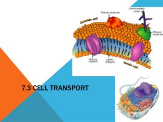 7.3 Cell Transport