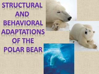 Structural  and  Behavioral Adaptations Of the Polar Bear