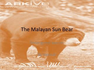 The Malayan Sun Bear