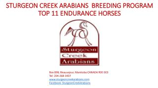 STURGEON CREEK ARABIANS   BREEDING  PROGRAM TOP 11 ENDURANCE HORSES