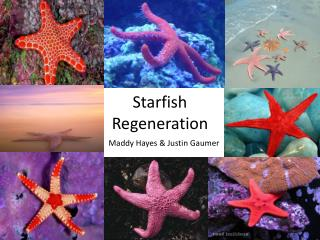 Starfish  Regeneration