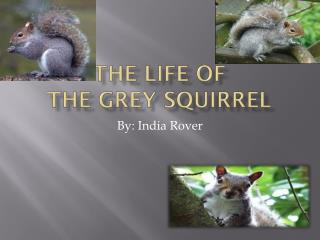 The Life Of  The Grey Squirrel