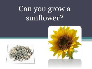 Can you grow a sunflower?