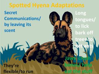 Spotted Hyena Adaptations