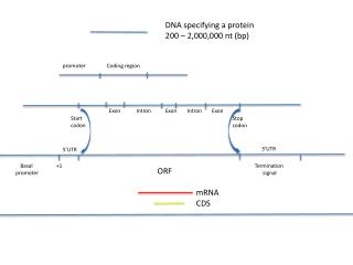 DNA specifying a protein 200 – 2,000,000  nt  ( bp )