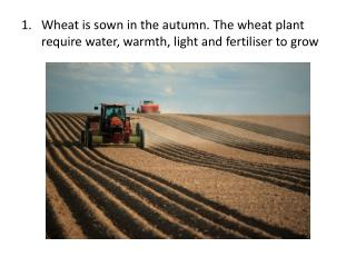 Wheat is sown in the autumn. The wheat plant require water, warmth, light and fertiliser to grow