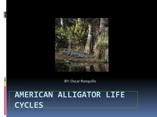 American Alligator Life Cycles