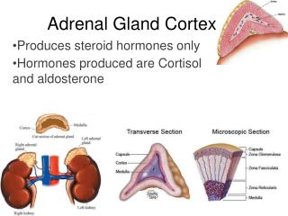 Adrenal Gland Cortex