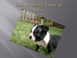 Boston terrier.  L avet af  Sofie