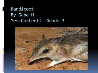 Bandicoot By Gabe  H. Mrs.Cottrell - Grade 3