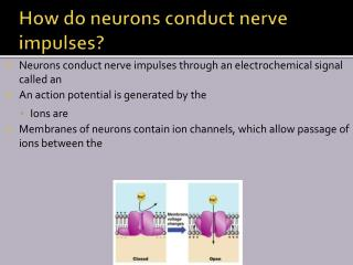 How do neurons conduct nerve impulses?