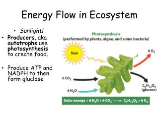 Energy Flow in Ecosystem
