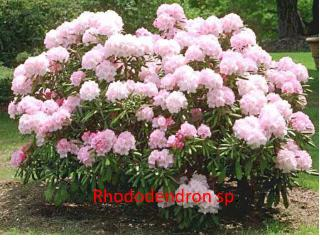 Rhododendron sp .