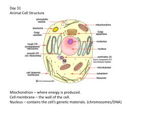 Day 32 – Plant Cell Choloroplasts  – photosynthesis – making energy from light.