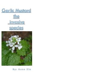 Garlic Mustard the  invasive species